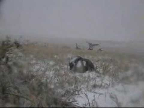 Layout Blind Goose Hunting on the X - YouTube