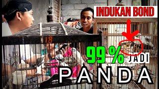 Download lagu TERBUKTI...!!! Cara Mencetak Kenari Warna Panda Ala Mas Riyanto Ini Sangat Akurat.