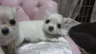 来ぬ番号 30-007 http://www.pretty-goinghome14.com/doginfo1/chiwawa/...