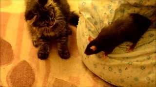 Крыса Сосиска против котенка