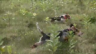 Beagle Boys Rabbit Hunting - Summer 2014 Random Training Videos