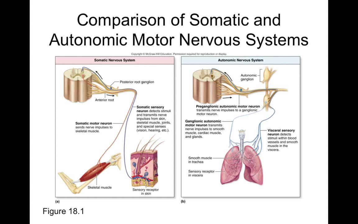 Chapter 18 Autonomic Nervous System Part1 - YouTube | 1152 x 720 jpeg 71kB