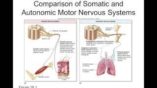 Chapter 18 Autonomic Nervous System Part1