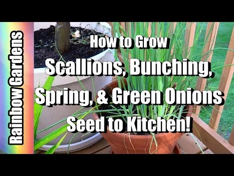 How to Grow Scallions ( Bunching, Spring, & Green Onions ) - Seed to Kitchen!