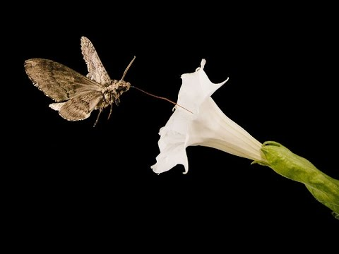 Moon Flower #7 - Pollinated by Sphinx Moth (Time-lapse)