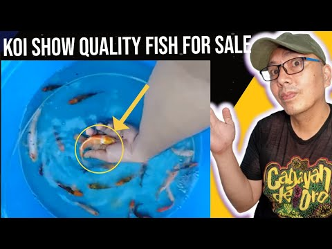 Selected Quality Koi Fish For Sale Philippines
