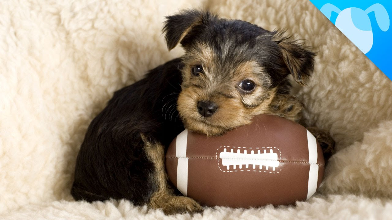 Best dog breeds to watch sports with funnydog tv for Best dog breed for you