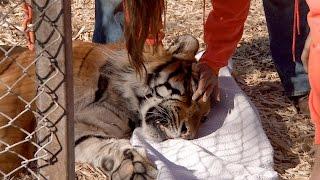 Ingrown Nails Cause Rescued Tiger Huge Problems