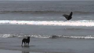 Чёрный коршун vs собака ГОА, Индия/ Black Kite vs. dog GOA, India