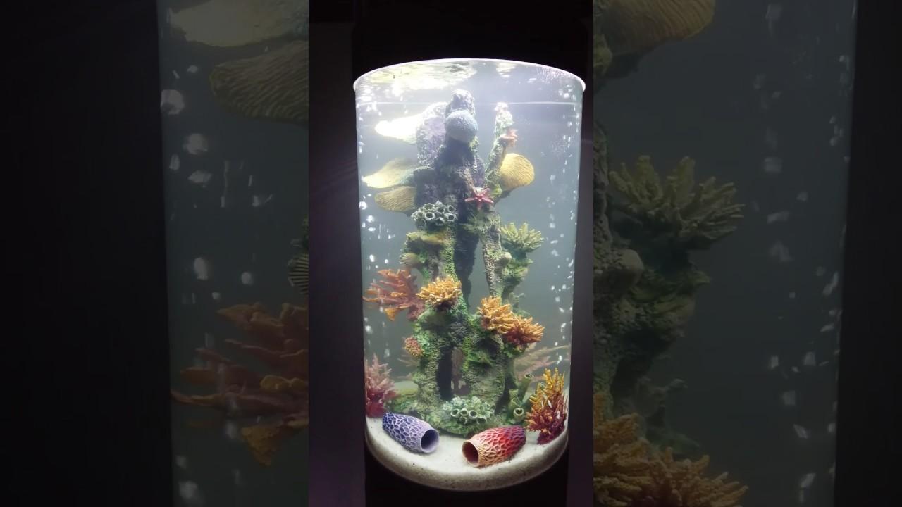 Рыбки топорик. Аквариумные рыбки топорик. thoracocharax stellatus .