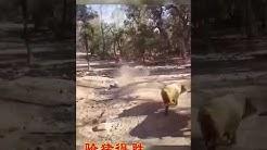 78 Gambar Babi Balap Lucu HD