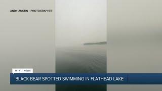 Black bear goes for a swim in Flathead Lake