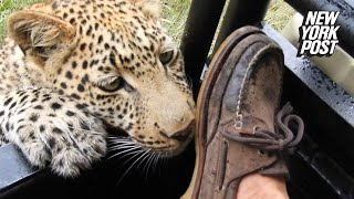 Man clawed by leopard lives to tell the tale | New York Post