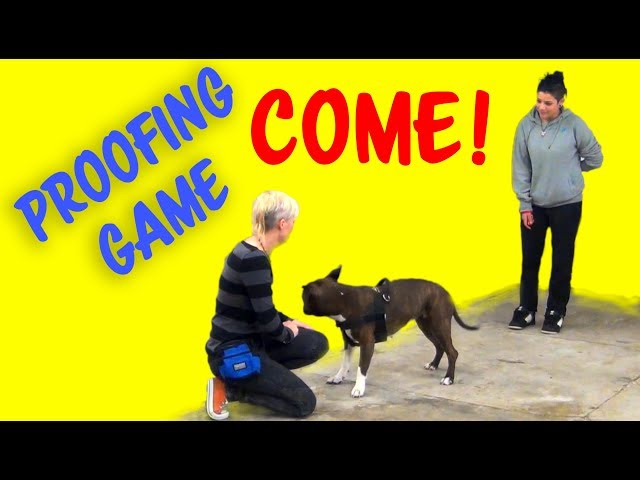 COME! - Recall Proofing Game from my seminar in Venice, Italy - Dog Training by Kikopup
