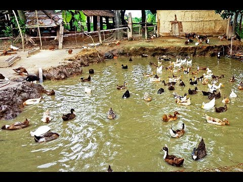 How to Start a Duck Farm | Start Your Own Duck Farming ...