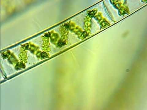 spirogyra under microscope Quotes