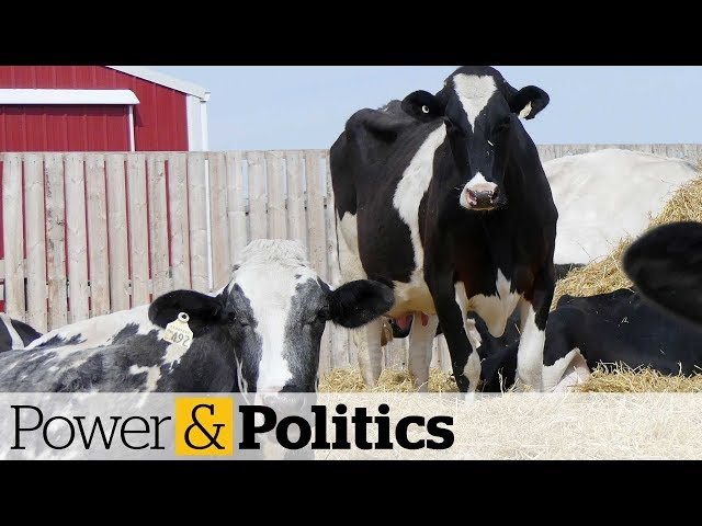 Feds unveil $1.75B in compensation for dairy farmers   Power & Politics
