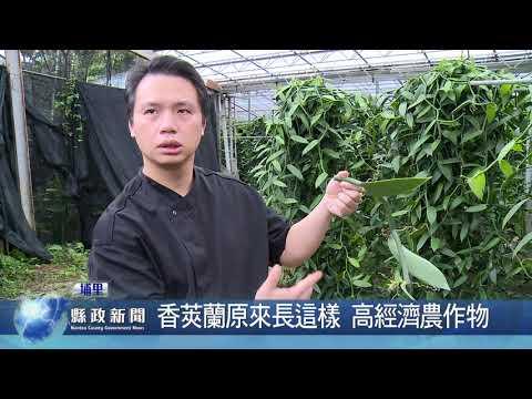 香莢蘭原來長這樣 高經濟農作物
