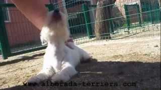 Cachorra Westy Alborada Roxie - Westie Puppy Female Alborada Roxie