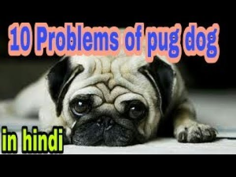 10 problems of pug    in hindi    dogs biography
