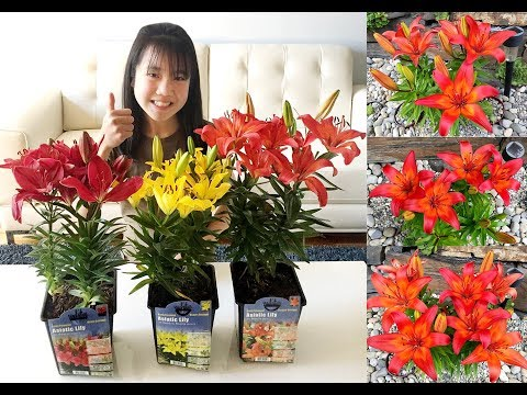 Garden Blooms: Asiatic Lilies @ Orange Matrix