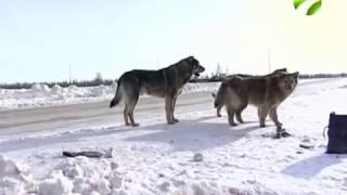 Ямальские депутаты берут под контроль законопроекты о безнадзорных животных