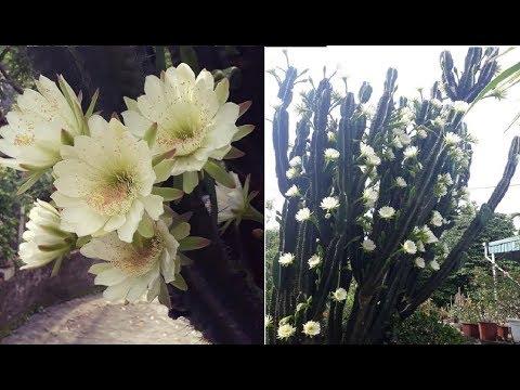 Ngỡ ngàng trước cây xương rồng 30 năm tuổi nở hoa kín cành