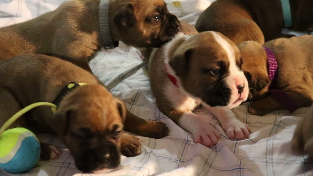 Boxer Puppies Second Week Puppies Start To Open Up Their Eyes And