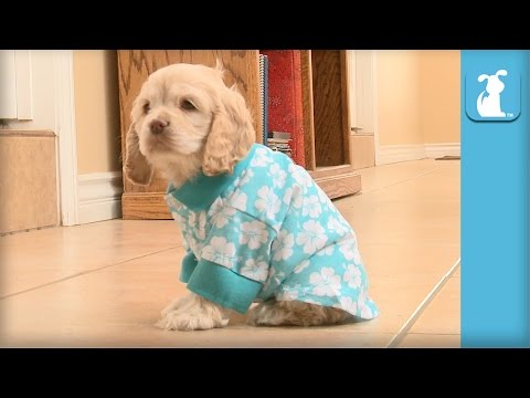 Adorable Cocker Spaniel Gets Teased For Wearing Hawaiian Shirt - Puppy Love