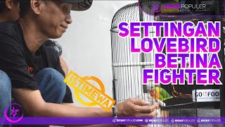 Download lagu Cara Setting Lovebird Betina FIghter Gak Pakai Ribet