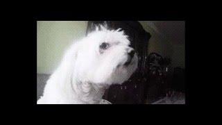Поющая собака Мальтийская Болонка Maltese sing star)