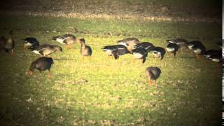 Greylag Goose rubrirostris   Oostelijke Grauwe Gans    Anser anser rubrirostris   Wieringermeer   Th