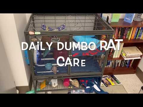 Dumbo Rat Daily Care