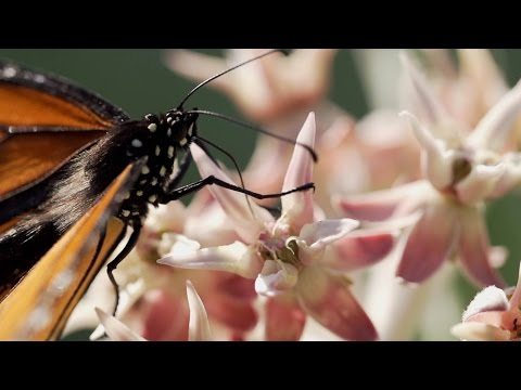 Monarchs & Milkweed - Yosemite Nature Notes - Episode 24