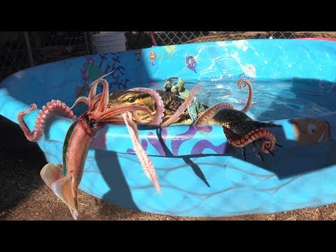 lizard-fights-a-live-squid-in-pool