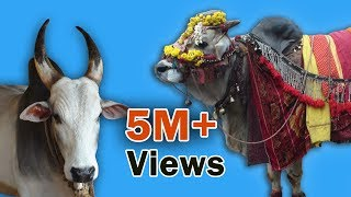 Indian cow : a moving temple (documentary trailer)