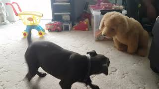 Staffordshire Bull Terrier | A NEW DOG IN THE HOUSE