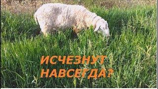 """Молочные овцы """"Александровские многоплодные"""". Вымирающая порода."""
