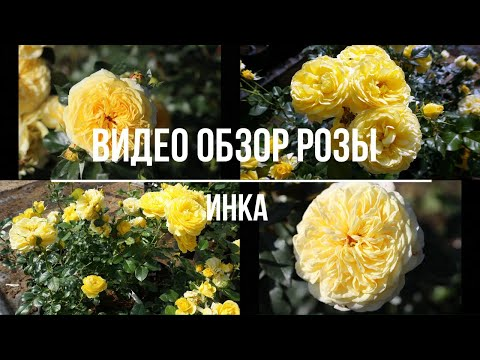Видео обзор розы Инка (Флорибунда) - Inka (Tantau Германия, 2015)