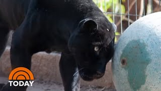 Woman In Jaguar Attack Speaks Out | TODAY thumbnail