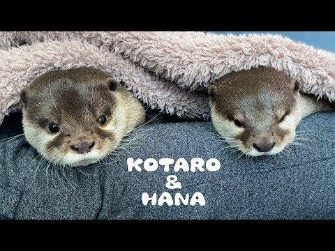 カワウソコタローとハナ 気持ちいい日曜日のお昼寝 Otter Kotaro&Hana Sunday Afternoon Nap from YouTube · Duration:  4 minutes 20 seconds