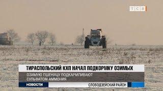 Тираспольский КХП начал подкормку озимых