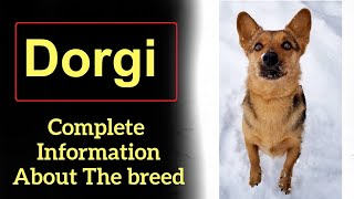 Dorgi. Pros and Cons, Price, How to choose, Facts, Care, History