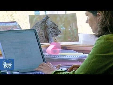 Iberian Lynx Documentary | Part 3