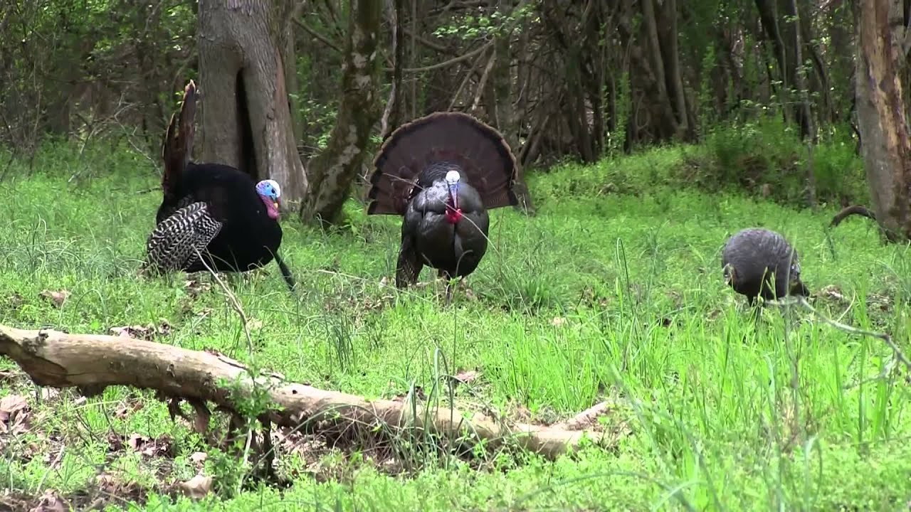 Citw 2014 e11 penned up gobbler georgia turkey hunting for Georgia out of state fishing license