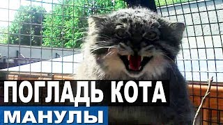 ДОБРАЛИСЬ ДО МАНУЛОВ! Как приручить манула? Как поймать дикого кота?
