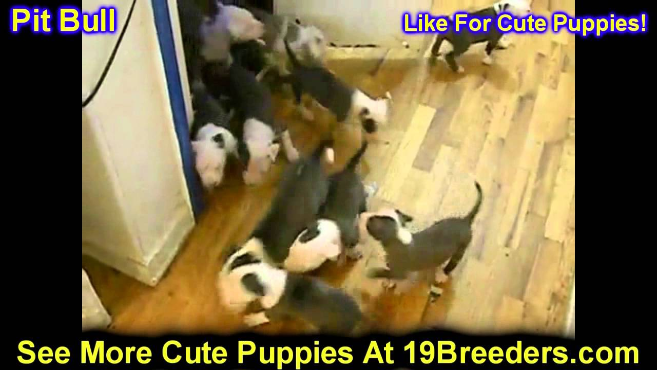 Pitbull Puppies For Sale In South Bend Indiana County In