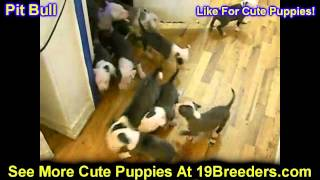 Pitbull, Puppies, For, Sale, In, South Bend, Indiana, County, In, Allen, Hamilton, St  Joseph, Vande