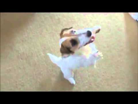 Best Jesse Dramatically Plays Dead Amazing Dog Trick 2015