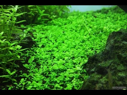 Monte Carlo - HC Cuba alternative, easy to grow carpeting plant
